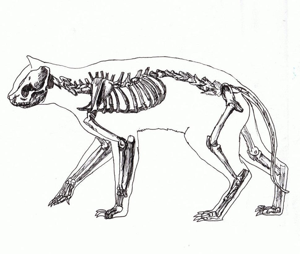 Gatto: scheletro