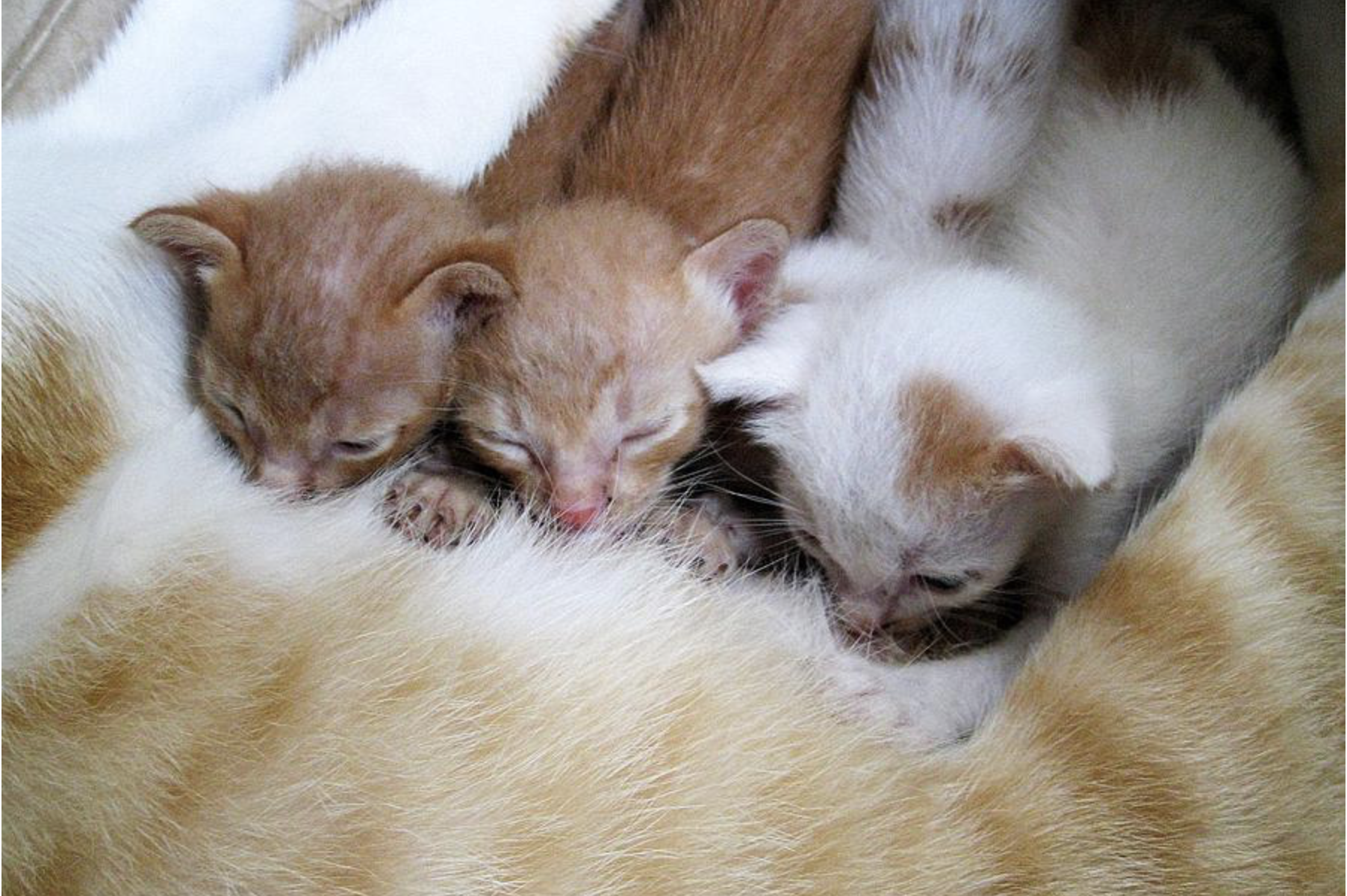 Gattini bevono latte dalla mamma