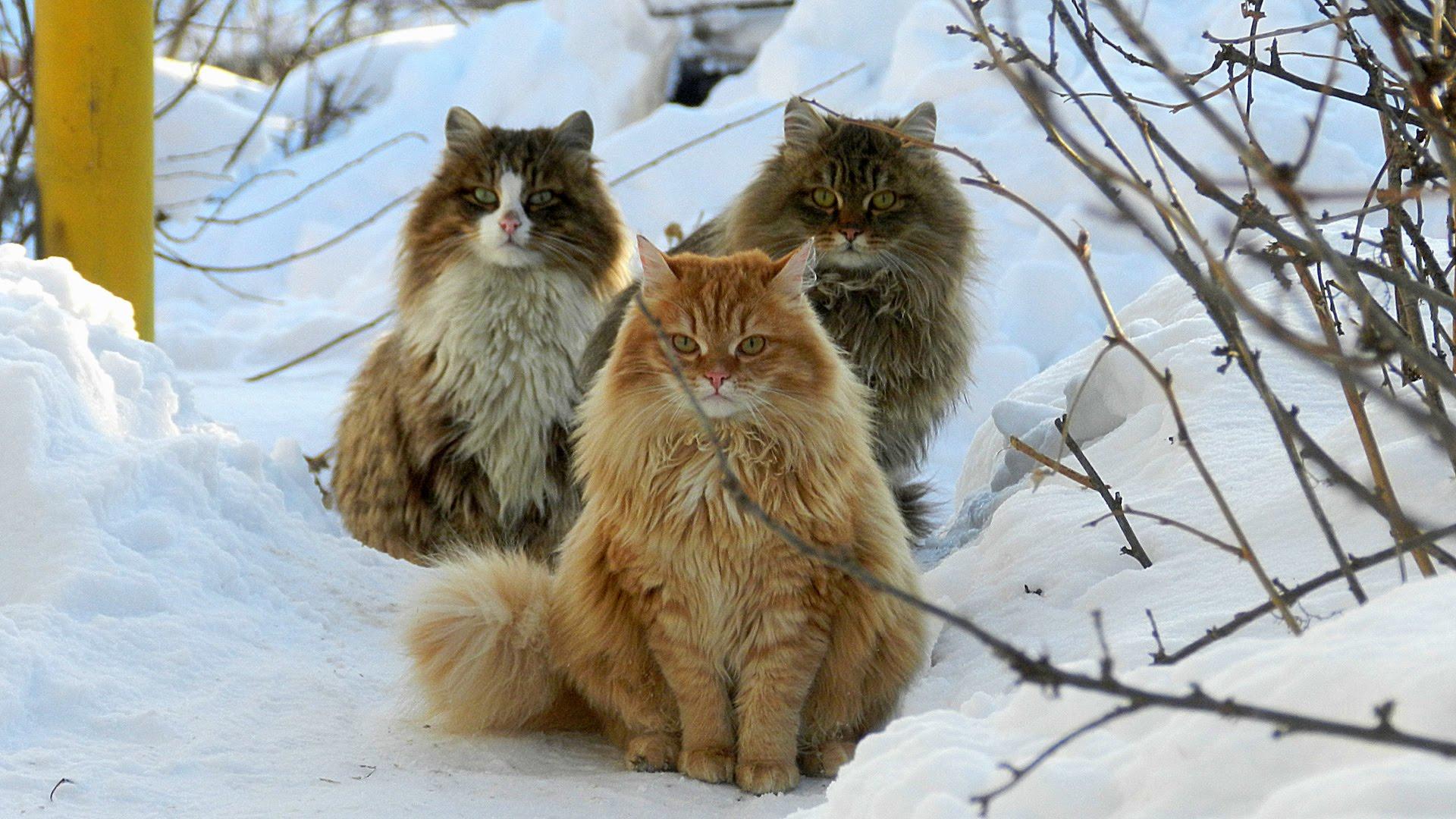 Tre gatti Siberiani
