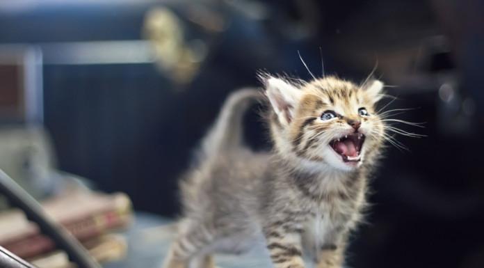 Comportamento: il miagolare del gatto