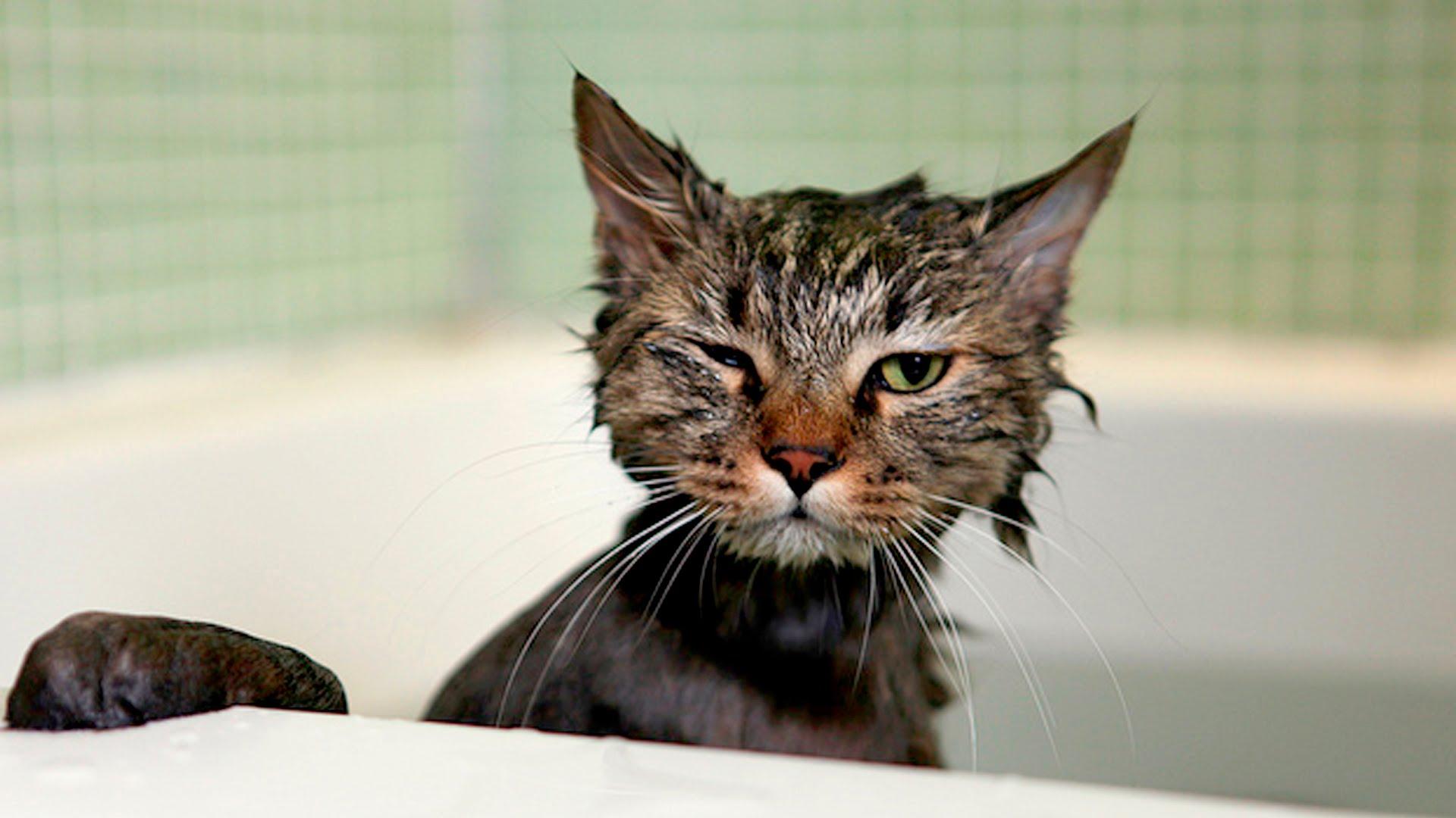 Fare il bagno al gatto fa davvero male - Come fare il bagno al gatto ...