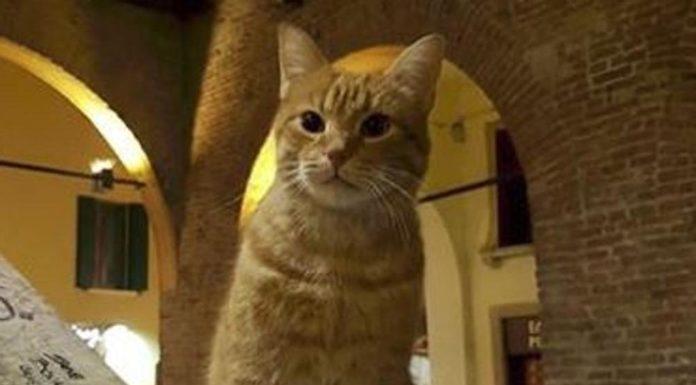 gatto rovigo