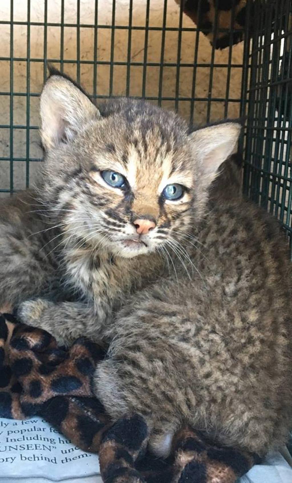 Famiglia pensa di salvare una bellissima cucciolata di gatti. E invece erano linci