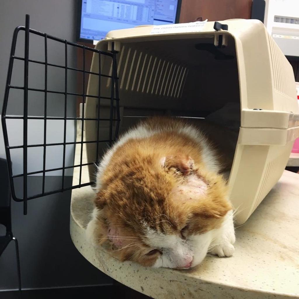 Gatto perde le orecchie a causa del freddo